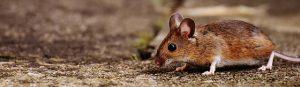 הדברת עכברים בירושלים